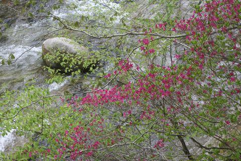 葉より先に花が咲くヤシマツツジ  5月29日撮影