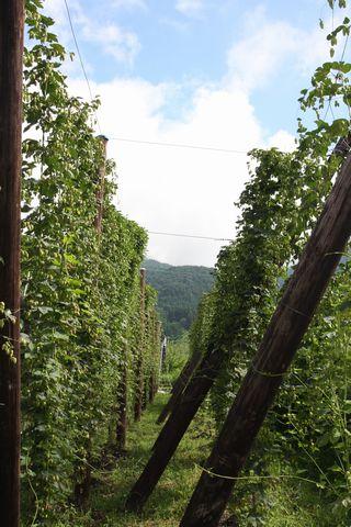 玉村酒造のホップ畑