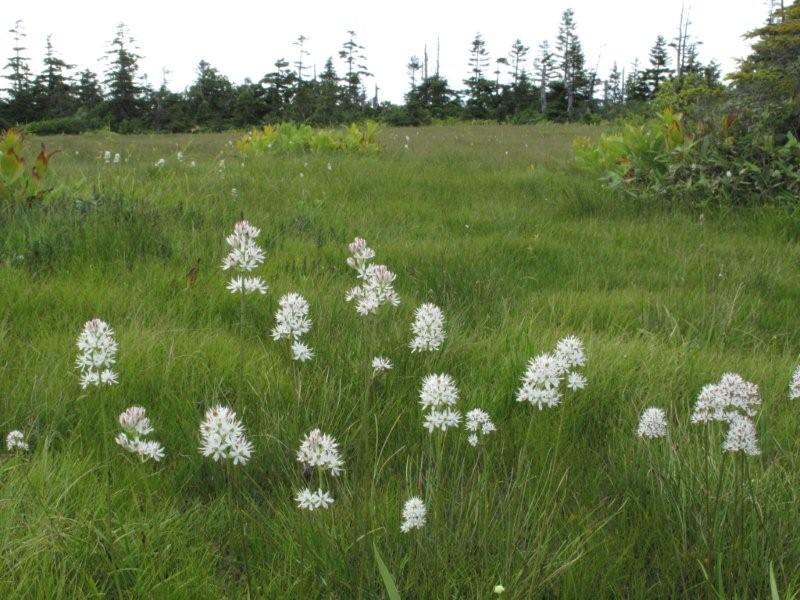イワショウブ(岩菖蒲) でも、ユリ科の花です