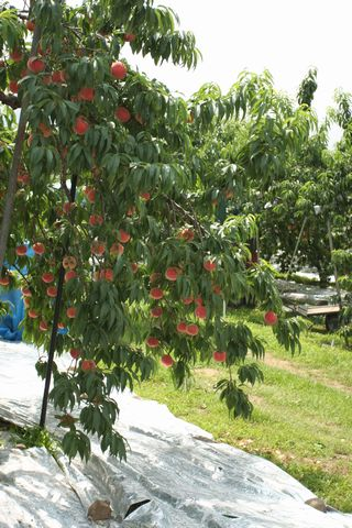 「おどろき・桃の木」って言いますが