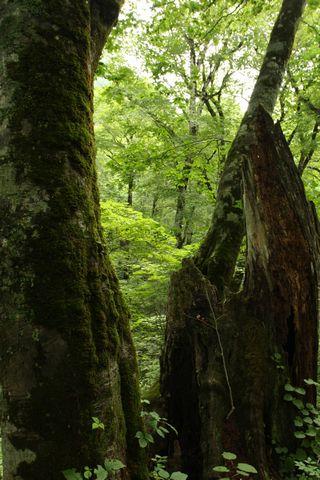 生命を育むブナ林
