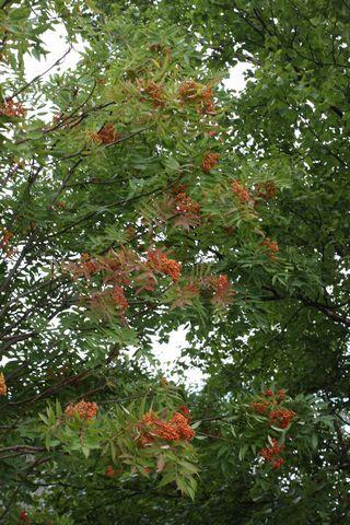 ナナカマドの実は 鳥の大好物