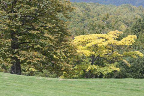 キハダ(黄檗)は名前のとおり黄葉に    9月27日撮影