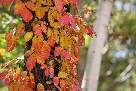 つたうるし(蔦漆)は鮮やかな秋の彩り
