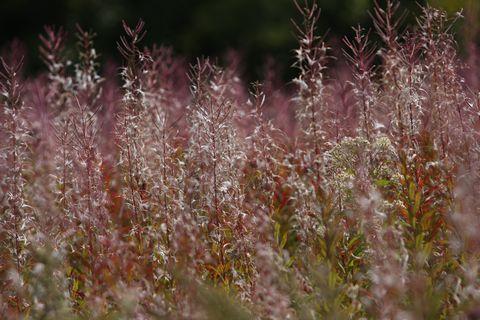 花が終わり 実をつけた ヤナギラン   9月16日撮影