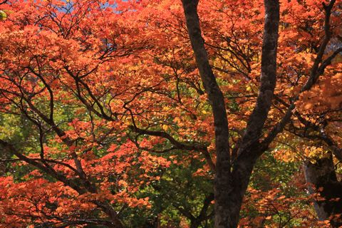 奥志賀渓谷・大滝(おおぜん)入口のモミジ   10月20日撮影