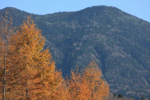 カラマツの黄葉は晩秋の彩り