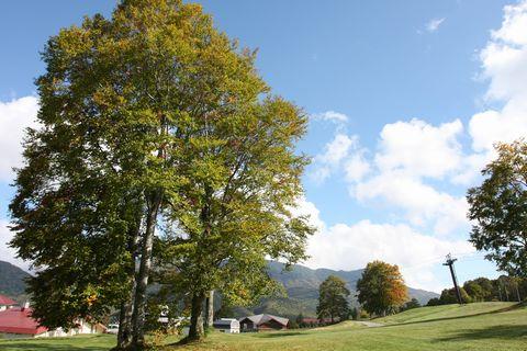テラス前の「三本ブナ」 背景は焼額山   10月1日撮影