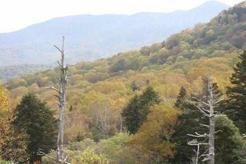 コロー風(?) 焼額山の白樺林    10月5日撮影