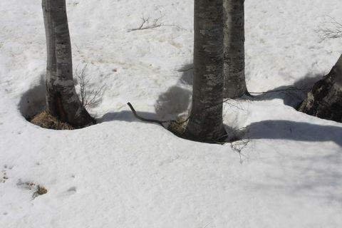 ブナ林には春の兆し・・・