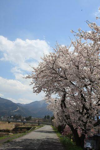 ようやく春らしい絵をお届けします   4月30日 湯田中にて撮影