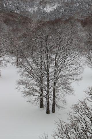"""""""三本ブナ"""" も雪の中"""