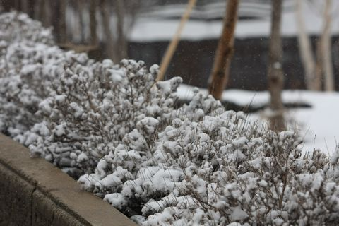 桜・・・ではなく、雪の花が満開