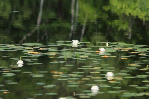 """水面を飾る """"夏の純白"""""""