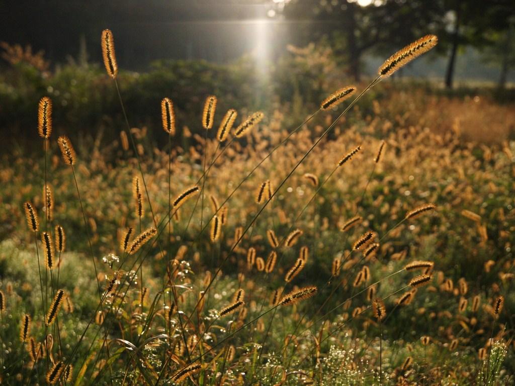カヤノ平のエノコロ草   9月10日早朝