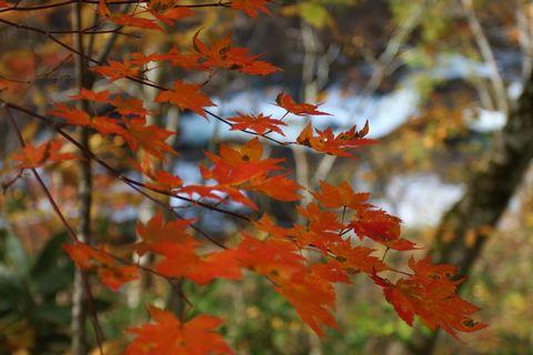 由緒正しき「紅葉狩り」        10月18日撮影