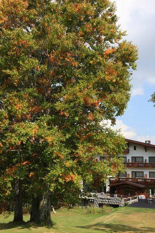 """ホテル前の """"三本ブナ"""" も黄葉し始めました    10月8日撮影"""