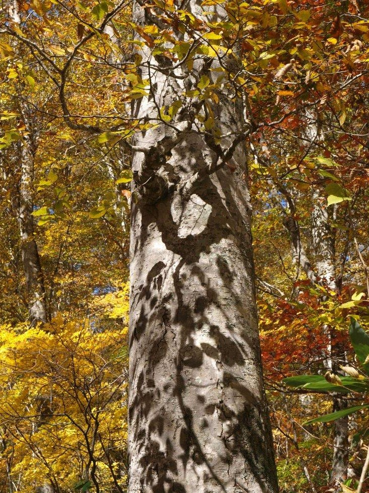 秋三景 その三  ブナの木