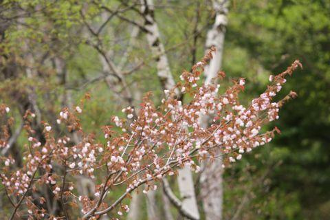 高原に春を告げる ヤマザクラ       5月27日撮影