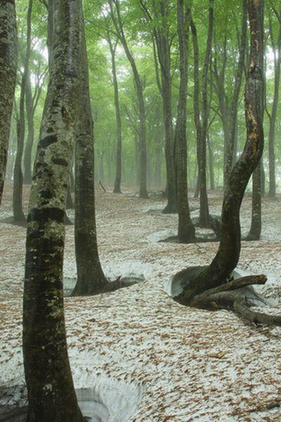 春浅きブナの原生林