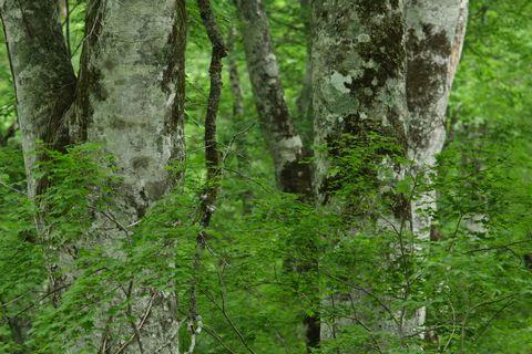 緑したたるブナの原生林      6月20日午後 撮影