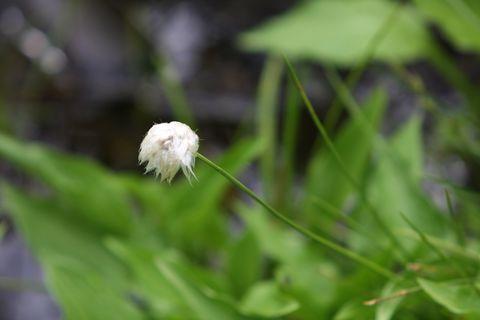 ワタスゲはこんな花です