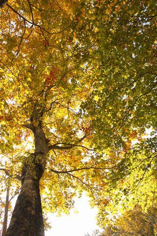 ブナも 秋の艶姿