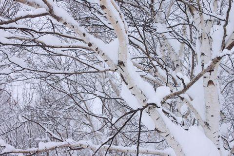 小雪 大雪 しずり雪       1月28日朝撮影