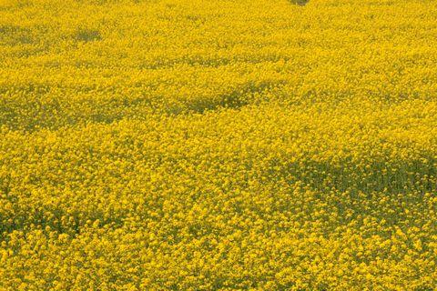 小布施市 千曲川沿いの菜の花畑