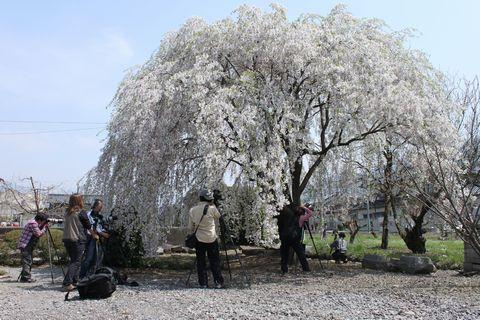 長野県須坂市 大光院にて            4月25日撮影