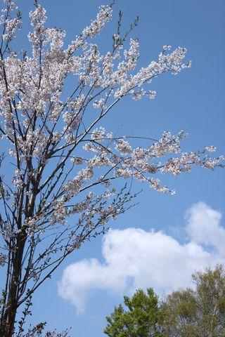 奥志賀のヤマザクラは今が見頃            5月27日撮影