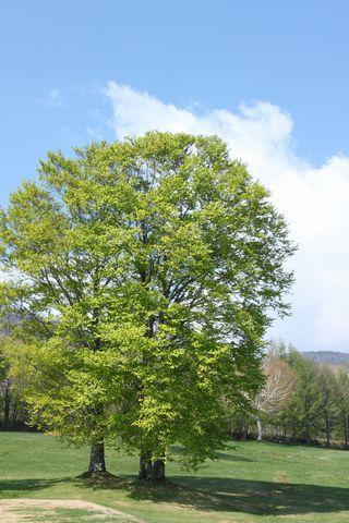 ブナの木と―