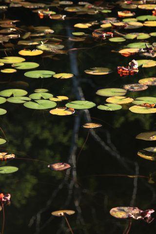 一沼のヒツジグサ       7月28日撮影