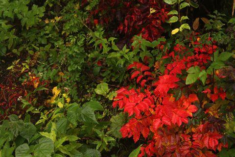 紅葉 一番手 ウルシの木