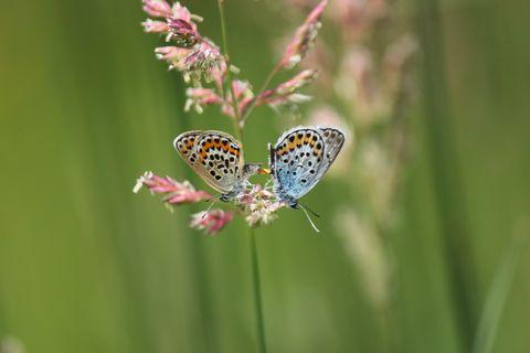 高原の夏の蝶 ヒメシジミ     7月16日撮影