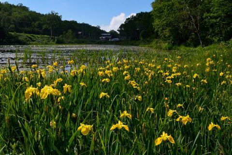 黄菖蒲   蓮池にて