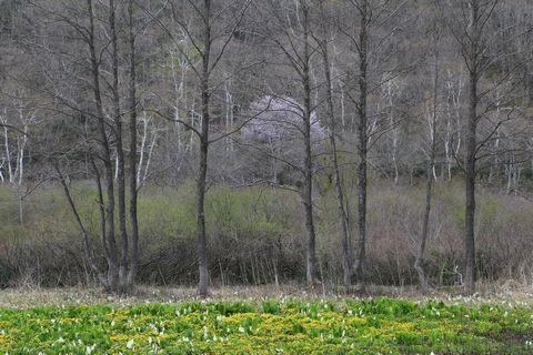 沼の原湿原にて (水芭蕉&リュウキンカ)