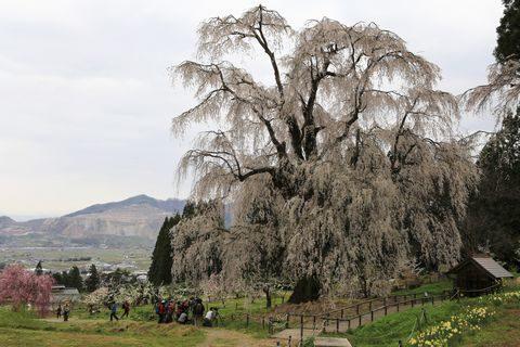 高山村 水中の枝垂れ桜      4がう26日撮影