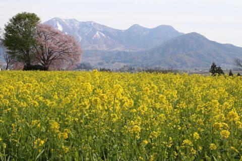 飯山 菜の花公園 4月27日